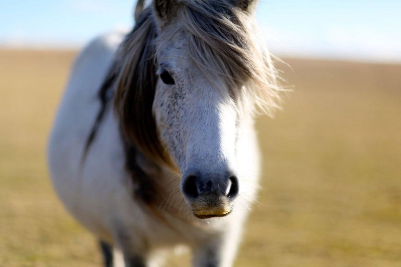 Dartmoor pony by Al King